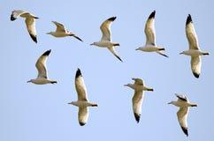 Vlucht van de meeuwen Royalty-vrije Stock Fotografie