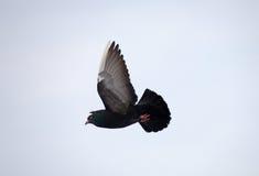 Vlucht van duif royalty-vrije stock foto's