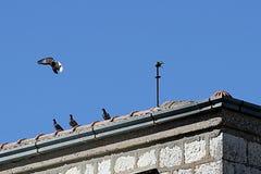 Vlucht van duiven in de zomertijd Stock Afbeelding