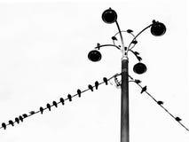 Vlucht van duiven die op draden zitten Stock Foto's