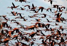 Vlucht van een flamingo in de hemel. Royalty-vrije Stock Afbeeldingen