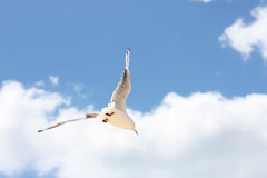 Vlucht van een zeemeeuw Stock Afbeeldingen