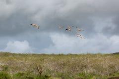 Vlucht van lage vliegende flamingo's in stormachtig weer Royalty-vrije Stock Fotografie