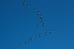 Vlucht van Pelikanen stock afbeeldingen