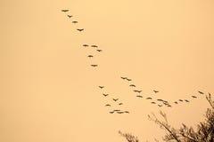 Vlucht van wilde eenden Stock Fotografie