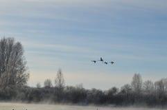 Vlucht van zwanen stock afbeeldingen