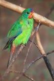 Vlugge papegaai Royalty-vrije Stock Afbeeldingen