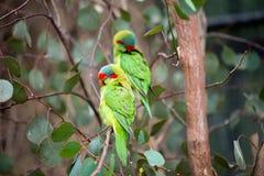 Vlugge papegaaien op een boom Royalty-vrije Stock Afbeelding