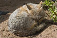 Vlugge vos die een oog open houdt stock foto's