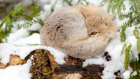 Vlugge vosslaap in de winterhabitat. Stock Afbeeldingen