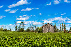 Vntage barn. An old vintage wood barn between a deep blue sky and a dark green crop Stock Photo