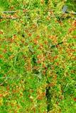 Voûte d'aucuparia, de sorbe ou de montagne-cendre de Sorbus avec les fruits mûrs rouges Vue supérieure aérienne de couronne d'arb Images libres de droits