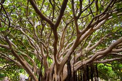 Voûte de forêt molle de feuille de branche de vert tropical d'arbre image libre de droits