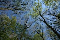Voûte de forêt tôt de source Image libre de droits