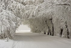 Voûte des arbres neigeux Images stock