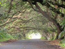 Voûtes vivantes des arbres de cosse de singe s'élevant au-dessus d'une rue sur la grande île d'Hawaï Image libre de droits