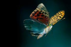 Vôo da borboleta Fotografia de Stock
