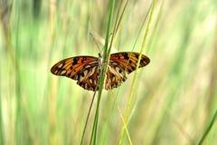 Voa uma borboleta de monarca das Caraíbas Fotografia de Stock Royalty Free