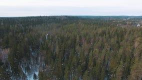 Voando baixo sobre partes superiores do abeto vermelho, do abeto e dos pinheiros video estoque