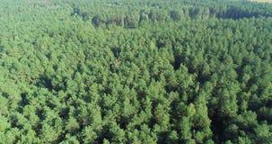 Voando sobre uma floresta do pinho, voando sobre copas de árvore vídeos de arquivo