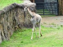 você ainda não sabe que um animal original em Colômbia vem conhecer este girafa em Risaralda fotos de stock