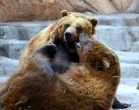 Você ouviu esses/dois ursos Imagens de Stock Royalty Free