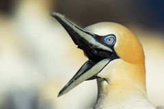 Vocal Gannet Royalty Free Stock Photos