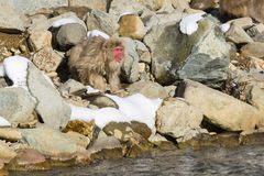 Vocal Long Haired Wild Snow Monkey on Rocks Stock Image