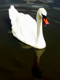 Vocal Swan. This swan has something to say about it...shown with open mouth Stock Photography