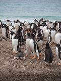 Vocalizing Gentoo Penguins on the Beach royalty free stock images
