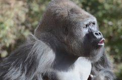 Vocalizing gorilla2 Stock Photo