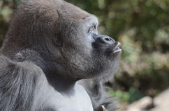 Vocalizing gorilla3 Royalty Free Stock Images