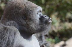 Vocalizing gorilla3 Royalty Free Stock Images