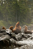 Vocalizing Male Sea Lion. Male Steller Sea Lion On Rock Outcrop Vocalizing to Other Lions Stock Images