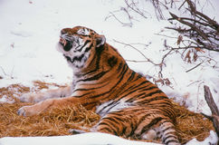 A Vocalizing Siberian Tiger Stock Photo