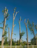 Vocation cut of poplar trees Royalty Free Stock Photos