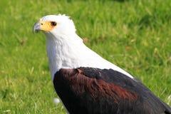 Vocifer africano de pescados Eagle/del Haliaeetus Imágenes de archivo libres de regalías