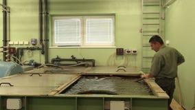 Vodnany, República Checa, o 2 de setembro de 2018: O pescador dos peixes do esturjão do diamante do russo do gueldenstaedtii do A filme