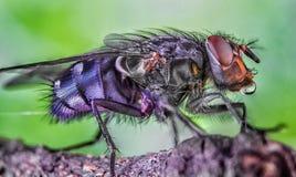 Voe, as gotas da água, molhadas, chuva, macro, olhos grandes da mosca Foto de Stock Royalty Free
