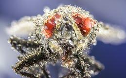 Voe, as gotas da água, molhadas, chuva, macro, olhos grandes da mosca Fotografia de Stock Royalty Free