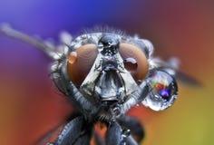 Voe, as gotas da água, molhadas, chuva, macro, olhos grandes da mosca Fotografia de Stock