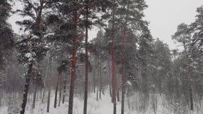 Voe em torno dos pinhos na neve video estoque