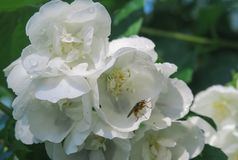 Voe em uma flor do jamine fotografia de stock royalty free