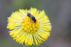 Voe o inseto em um Tussilago Farfara do coltsfoot da flor imagem de stock royalty free