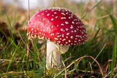 Voe os fungos do amanite, cogumelo em uma floresta Imagem de Stock