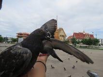 Voed de duiven tegenover de tempel het koninklijke klooster royalty-vrije stock fotografie