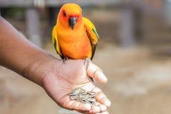 Voed de papegaai met hand stock foto's