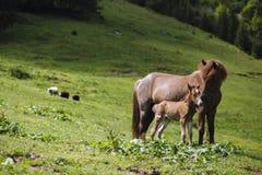 Voedend de babypaard van het moederpaard Stock Afbeelding