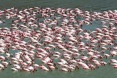 Voedend flamingopak Royalty-vrije Stock Afbeeldingen