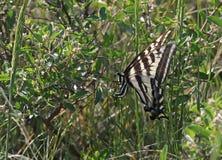 Voedend Oostelijk Tiger Swallowtail stock foto's